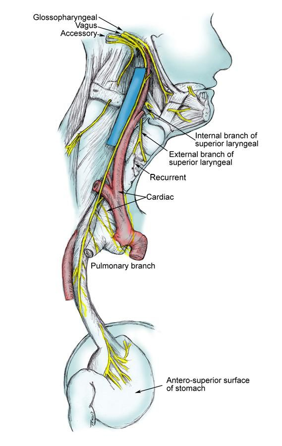 Pin by Paul Vineyard on Vagus Nerve | Pinterest