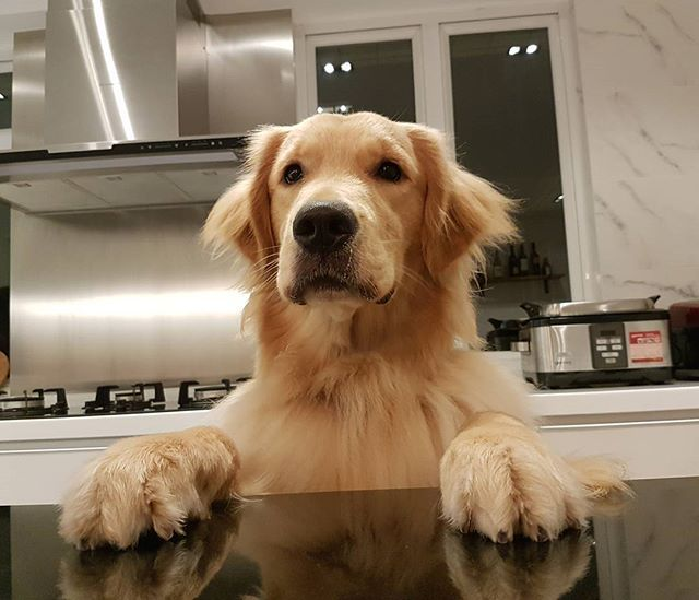Hey Human Is My Dinner Ready Yet I M Hungry Bodhi Dog