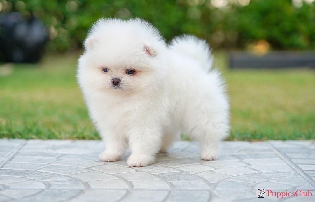 Teacup Pomeranian Puppies Teacuppomeranianpuppy Cutest Teacup