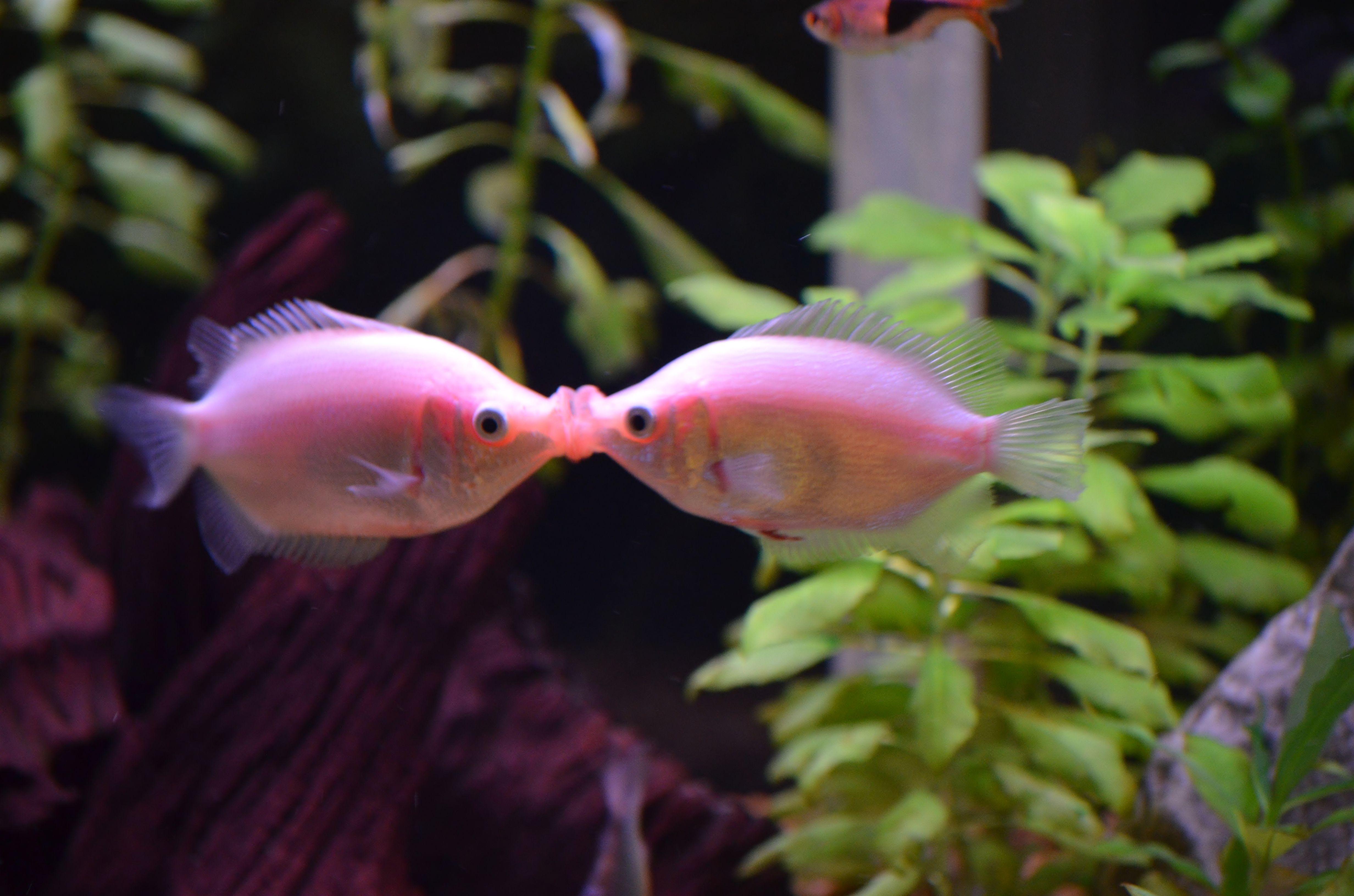 Kissing Gourami Kissing Gourami Aquarium Fish Fish Pet