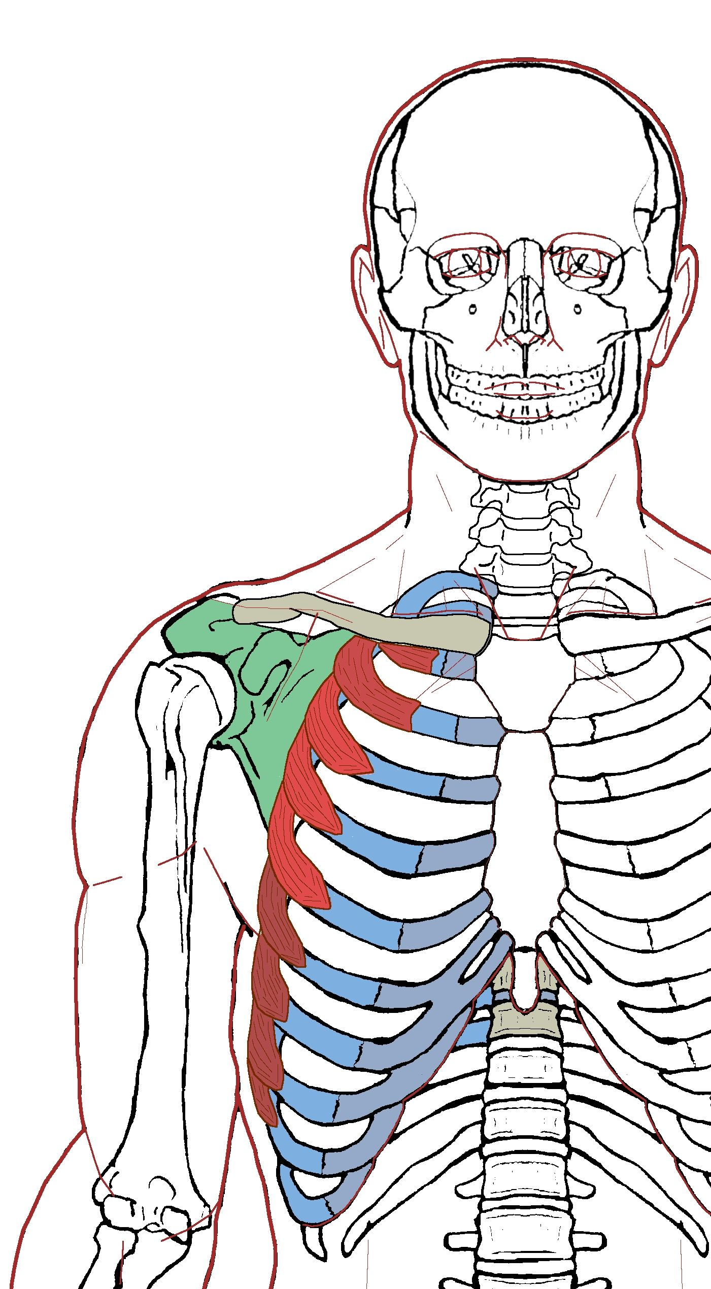 Serratus Anterior – Functional Anatomy | Chest muscles, Anatomy and ...