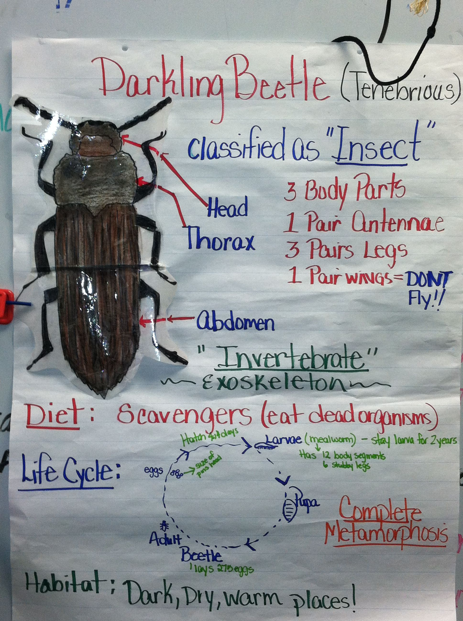 Beetle Body Parts Diagram Labeled