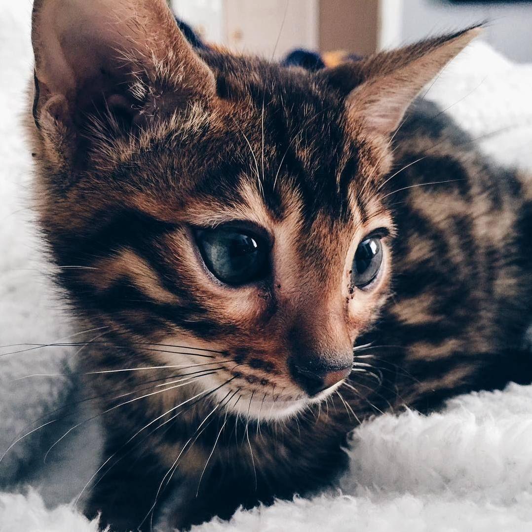 My little dude apollo the bengal cat http//cutecatshq