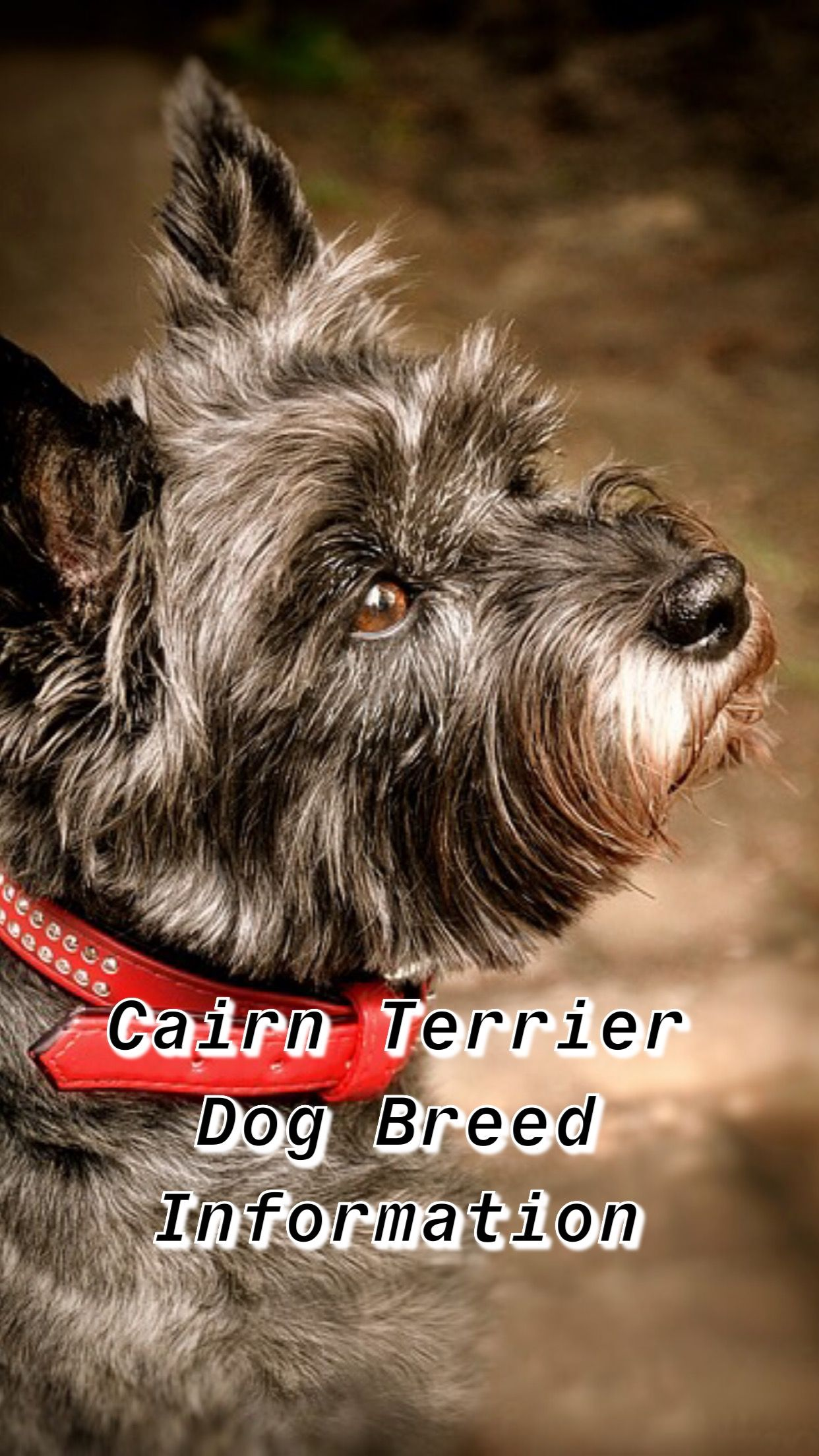 Cairn Terrier Puppies Terrier Breeds Black Terrier Terrier Dogs