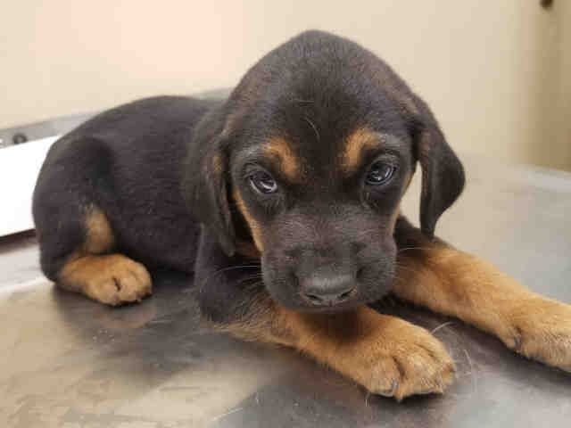 Www Petharbor Com Pet Hayw A005051 Pets Coonhound Animals