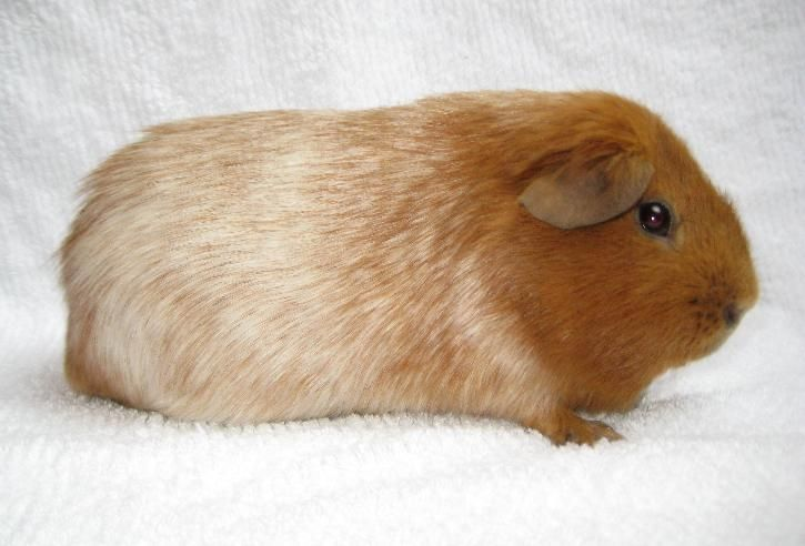 R Guinea Pigs Rodents Roan colored Gu...