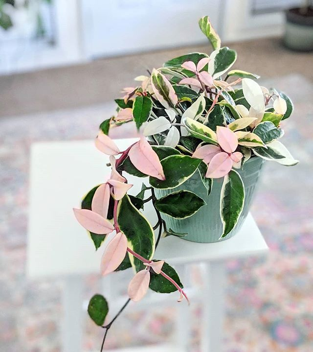 "Dria on Instagram: ""Look who I brought home this weekend? Meet Daisy my new Hoya tricolor. I'... #plantsindoor"