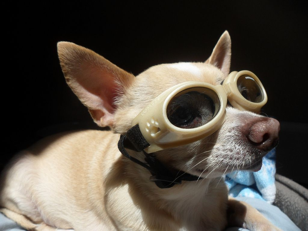 Basking In The Sun With Eye Protection Doggles Chihuahua Love
