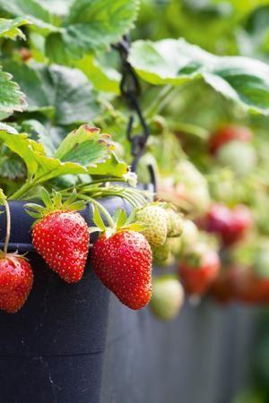 erdbeeren ein muss f r deinen balkon home sweet home pinterest erdbeeren obst und beeren. Black Bedroom Furniture Sets. Home Design Ideas