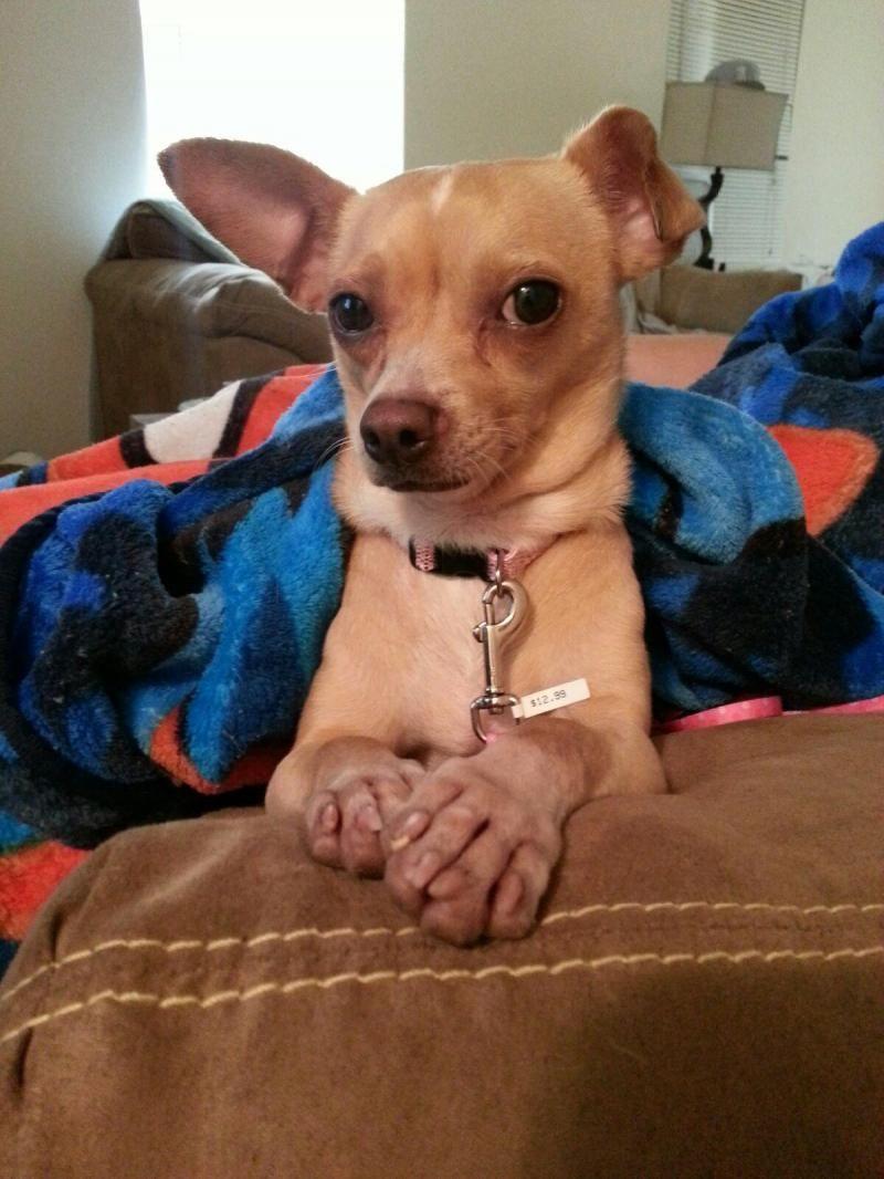 Adopt Mocha on Chihuahua dogs, Dogs, Chihuahua
