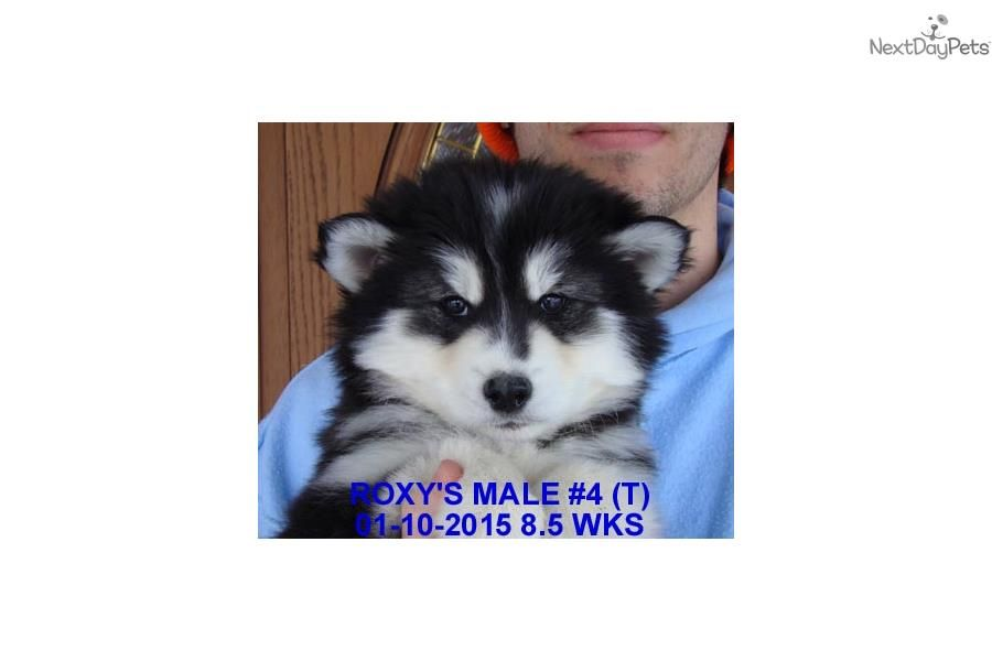 Bruck S Siberian Huskies Siberian Husky Puppy For Sale Near