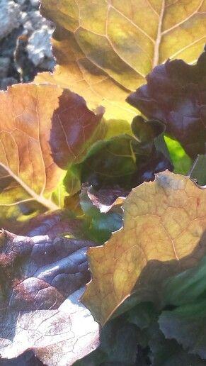 Love the light on Red Leaf Lettuce