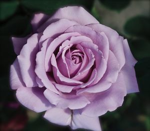 Floribunda rose love song 12 seeds gin 25 seeds pretty gorgeous lavender blue flowers bloom in late summer on old wood vigorous and dependablegrows ft mightylinksfo Images