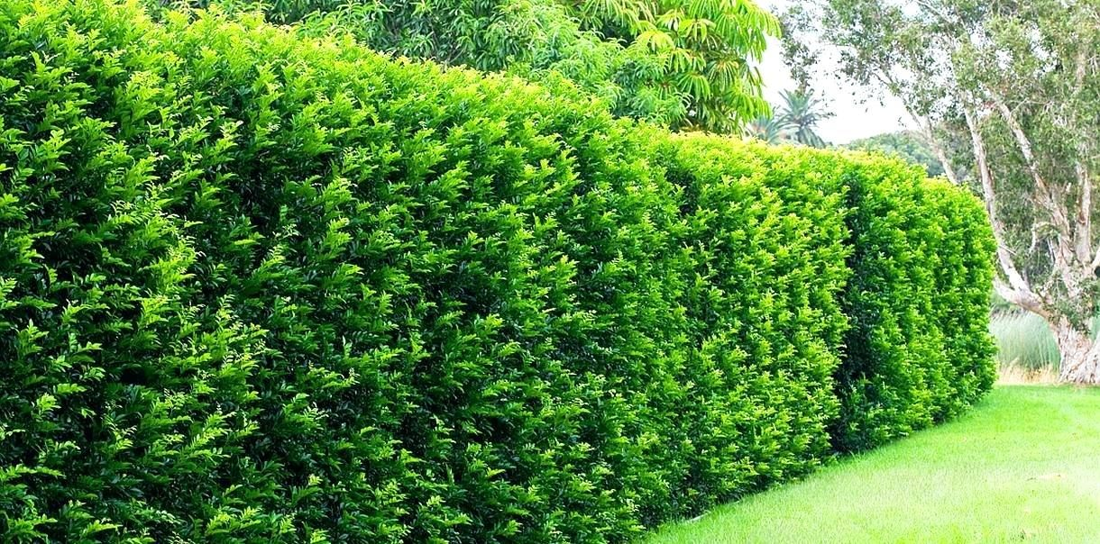 Best Privacy Hedge Hawaii Fence Plants Fast Growing For Hedges