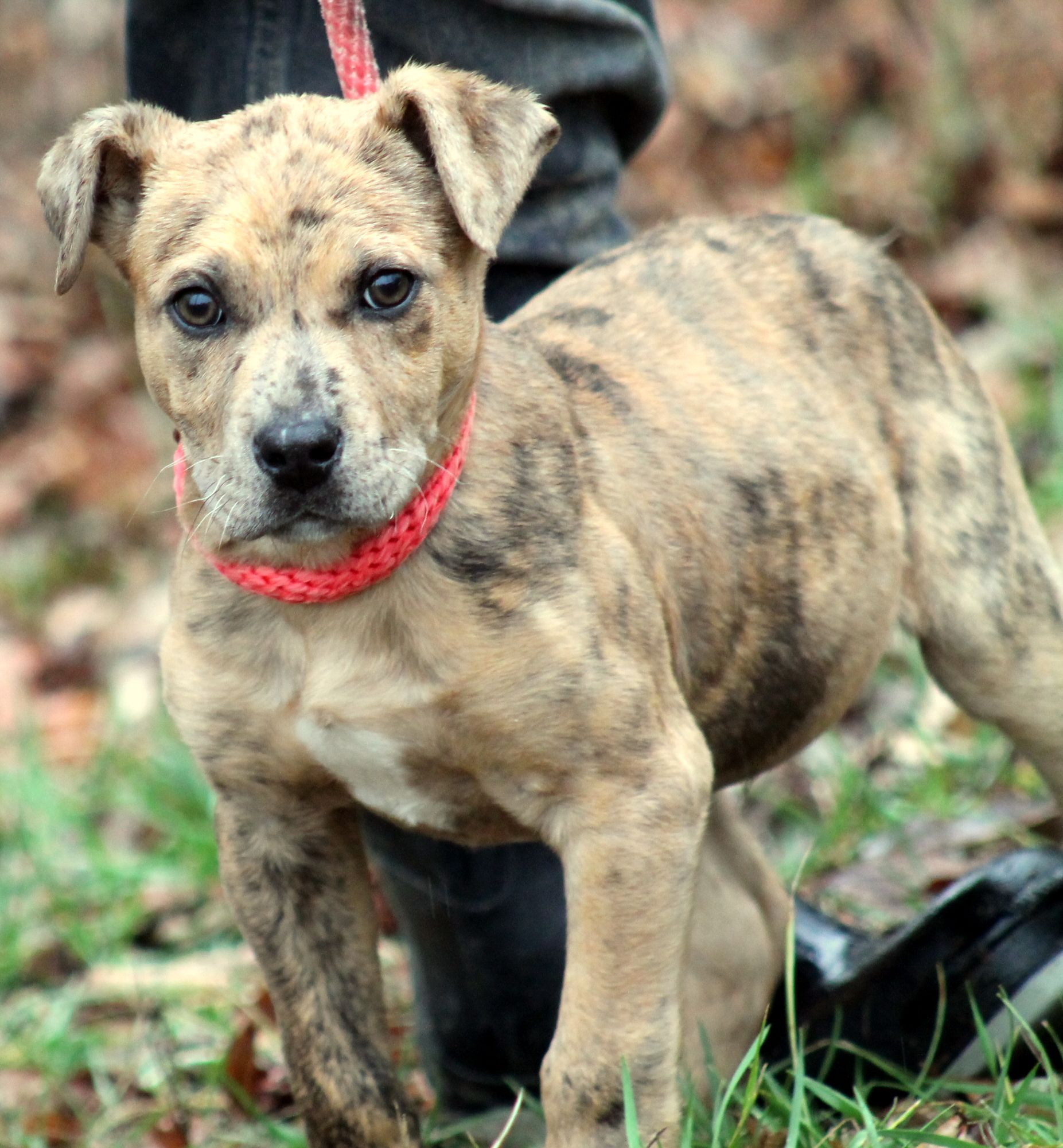 Mountain Cur Dog For Adoption In Sparta Tn Adn 443622 On