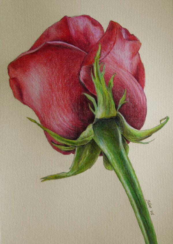 Red Rose By Fatboygotsick On Deviantart Colored Pencil Drawings