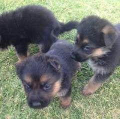Pin By Madison Masar On Doggie Stuff Dogs German Shepherd Dogs