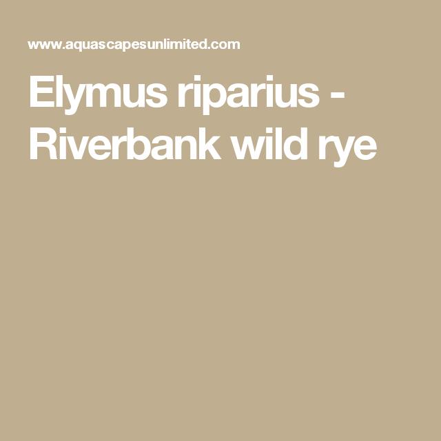 Elymus Riparius   Riverbank Wild Rye