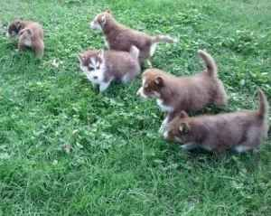 I Want One Of These Puppies For Real Red Siberian Husky Siberian Husky Red Siberian Husky Husky Puppy