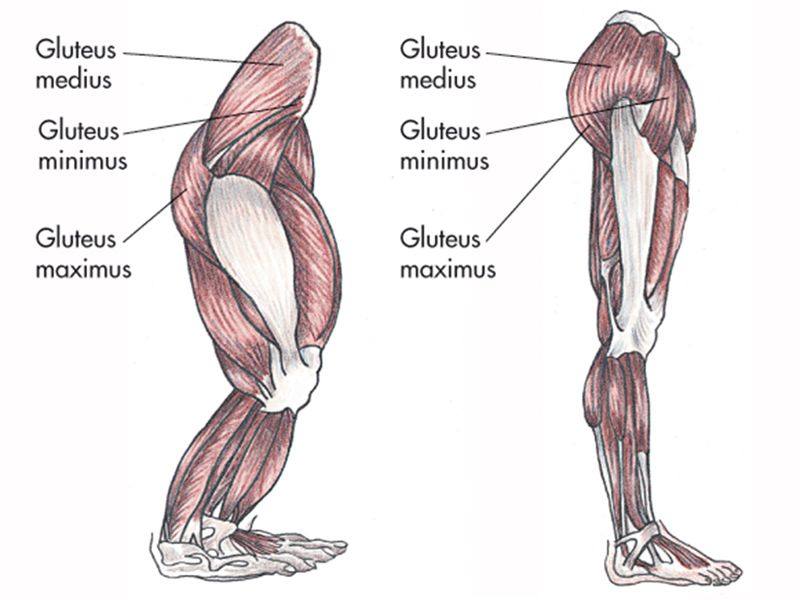Gluteal Muscles In A Gorilla And Human Being Animal Art Study In