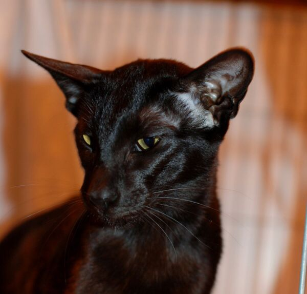 Ebony Siamese (With images) Siamese cat breeders