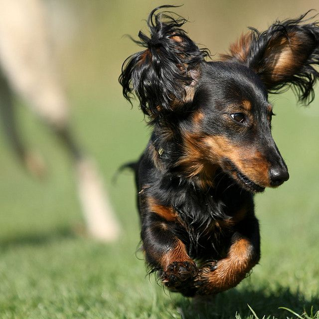 Lotje Dachshund Dog Dachshund Puppies Long Haired Dachshund
