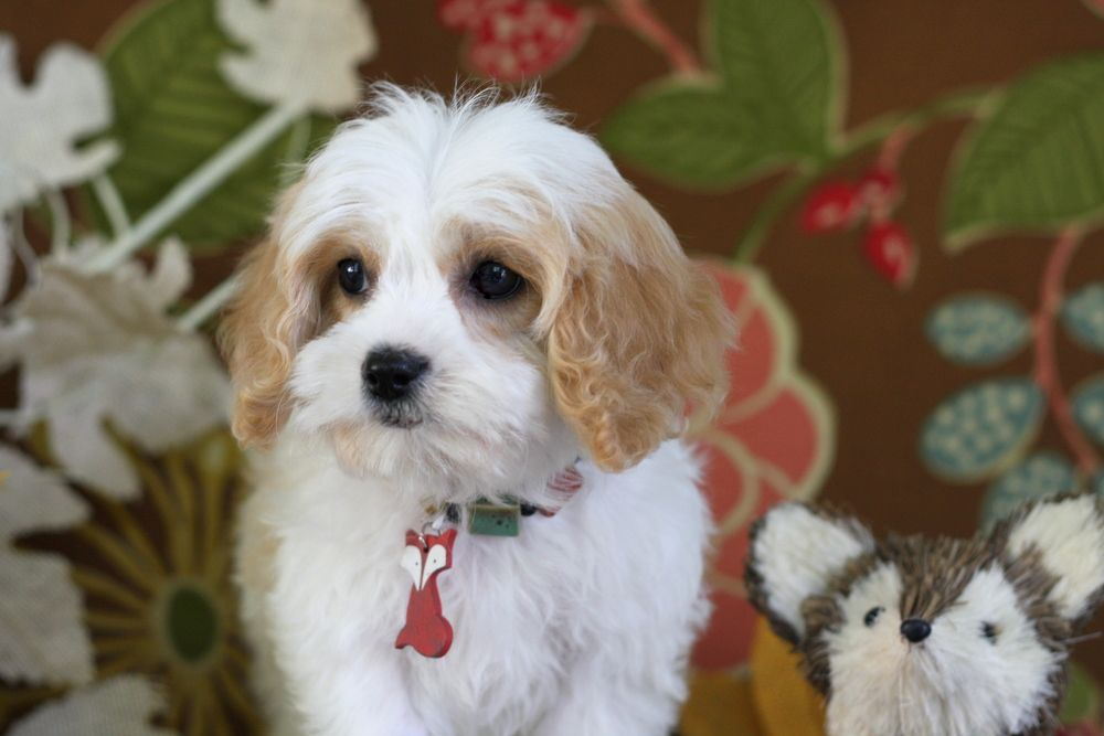 Cavachon Grooming Google Search Cavachon Dog Quotes