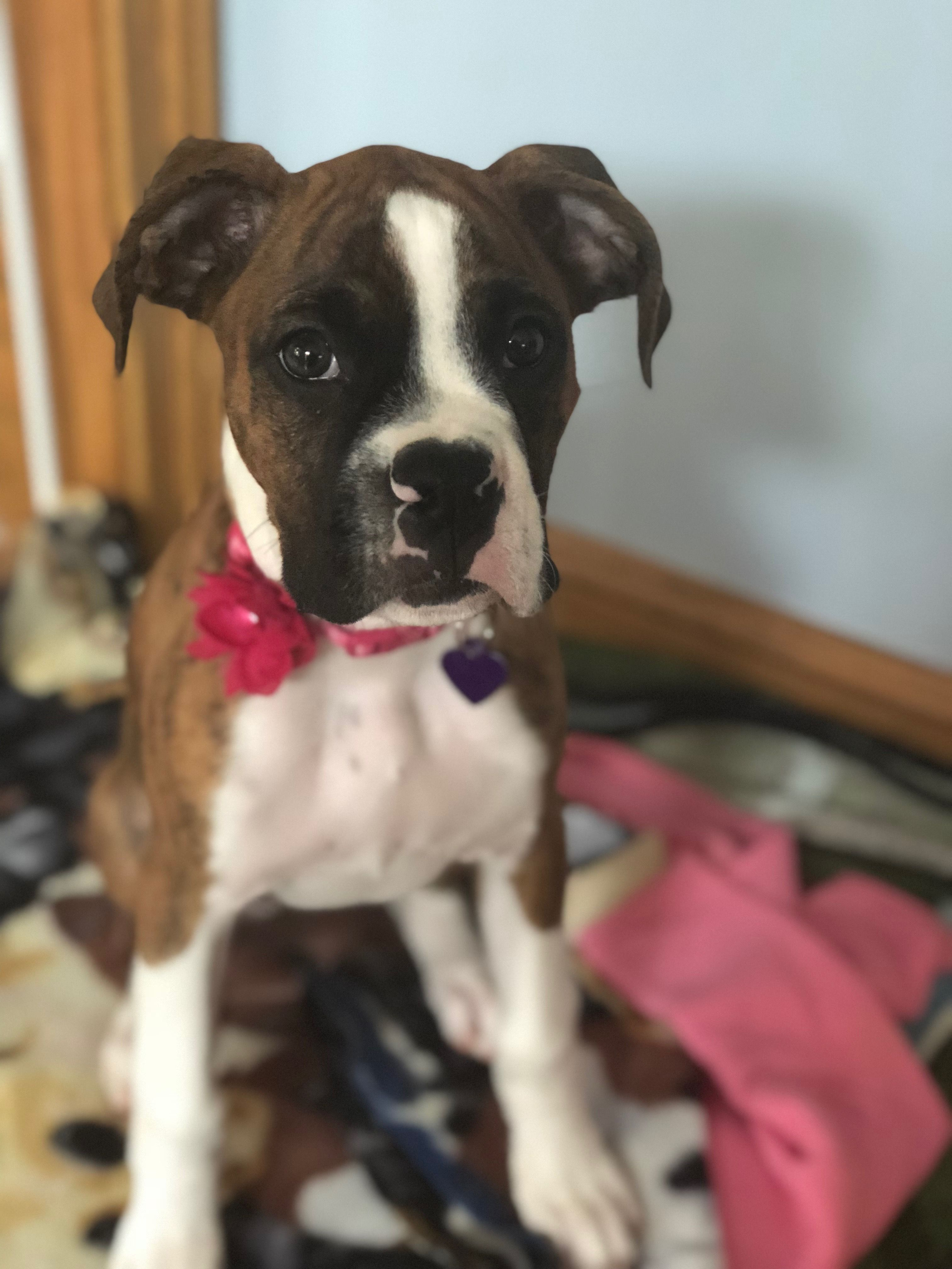 Pin by Nuki Mo on Boxers Boxer puppies, Boxer dogs