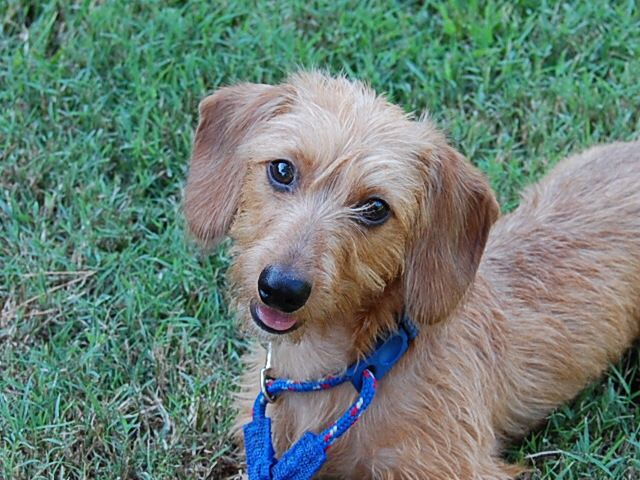Louie Middot Wheaton Wirehaired Dachshund Wire Haired