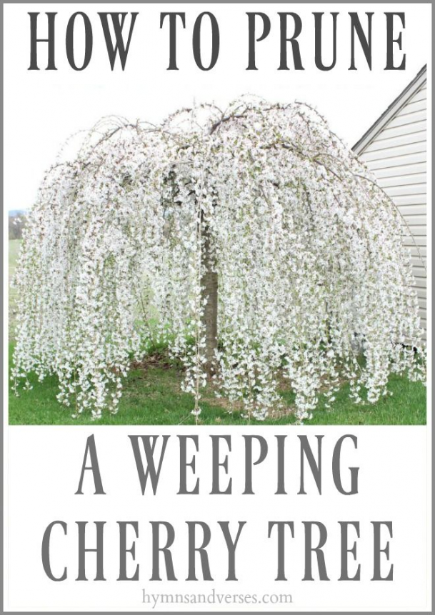 Easy To Follow Tips For How To Correctly Prune A Weeping Cherry Tree So It Doesn T Look Like A Mushroom Weeping Cherry Tree Cherry Trees Garden Weeping Trees