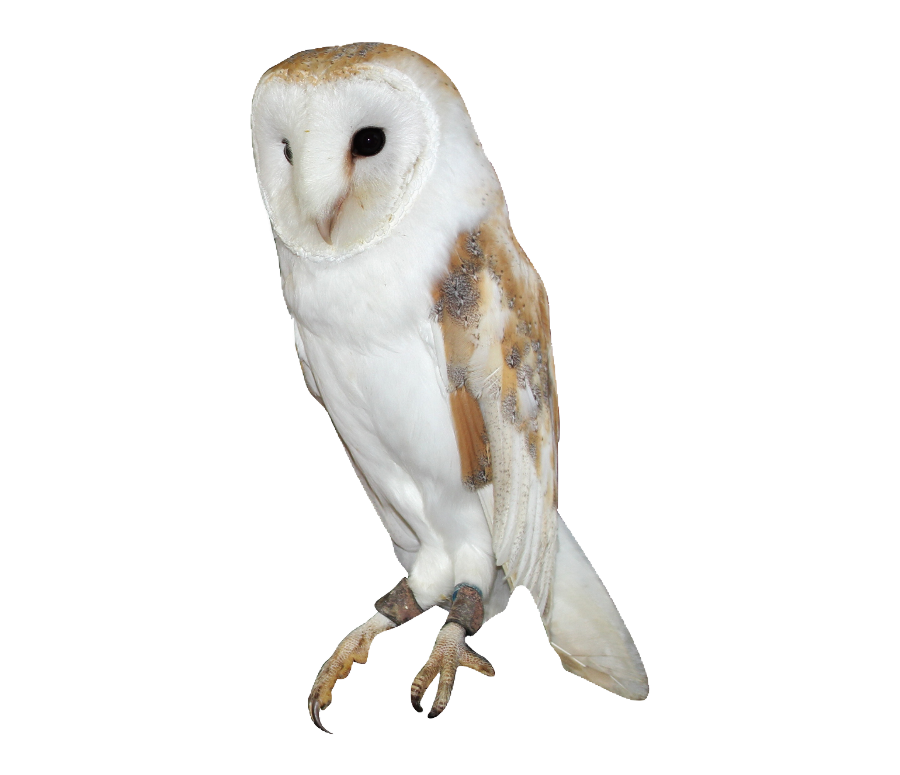 Barn Owl Png Owl Png Barn Owl Owl