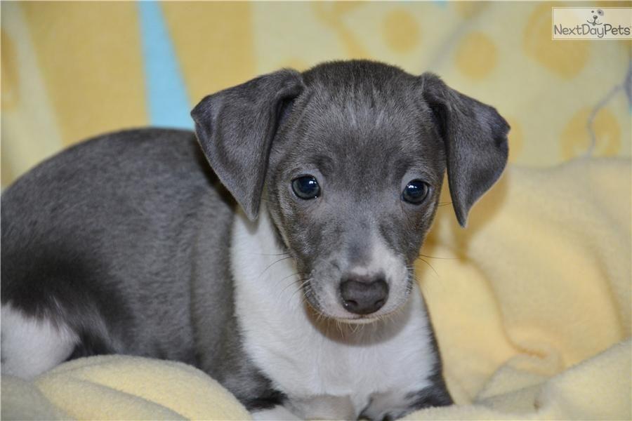Meet Gino A Cute Italian Greyhound Puppy For Sale For 1 100 Blue Gino Italian Greyhound Puppies Greyhound Puppy Puppies
