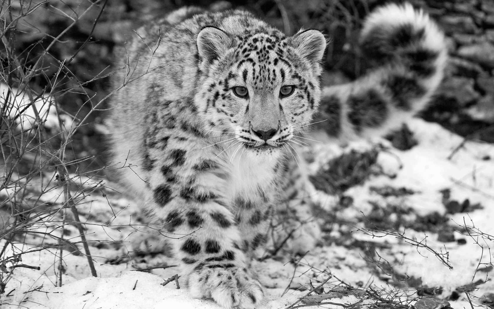 The Snow Leopard Wallpapers Hd Wallpapers Snow Leopard