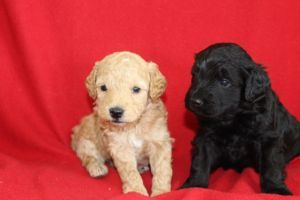 For Sale F1b Mini Goldendoodle Puppies Kijiji Ad Tan With A