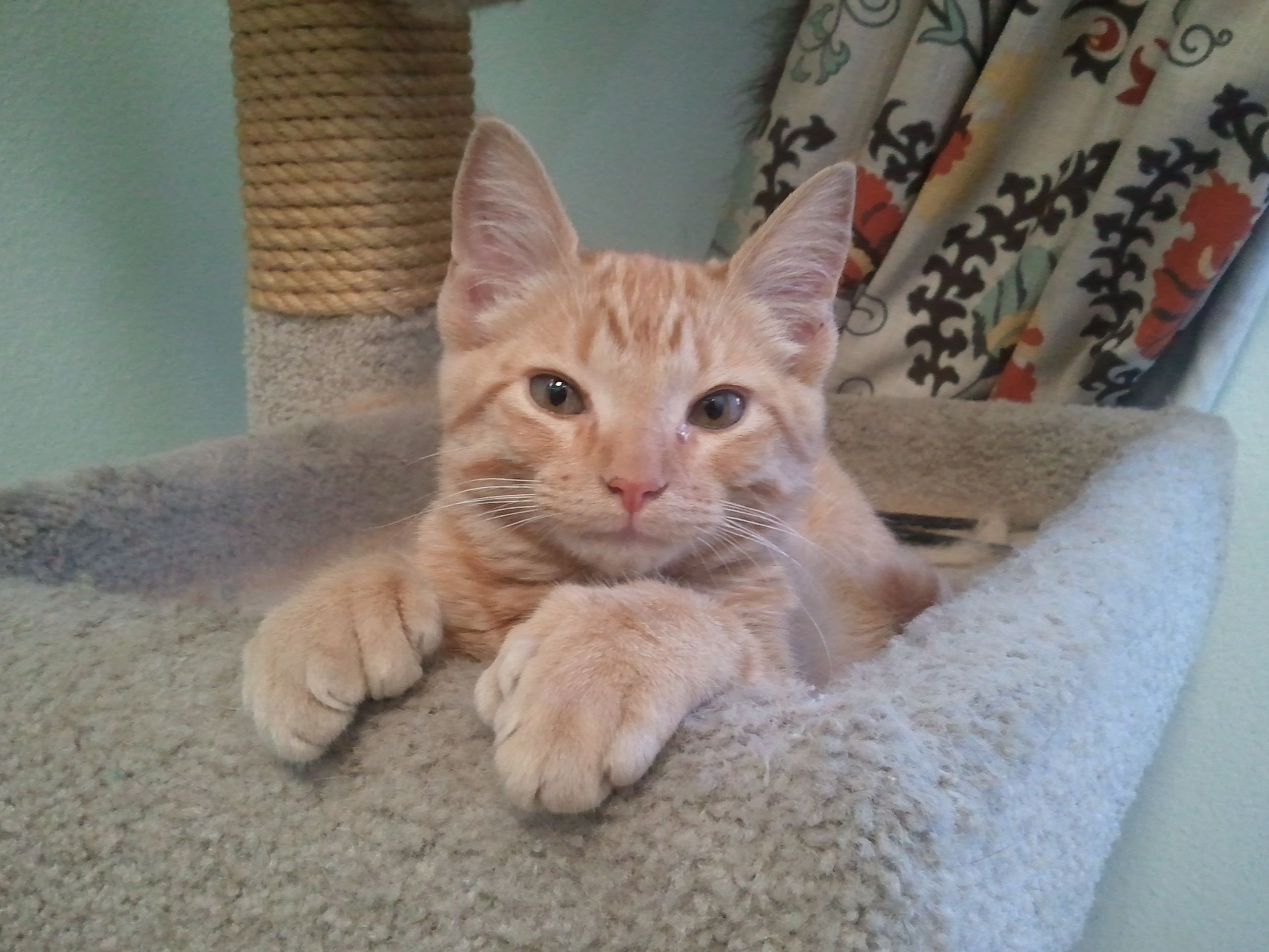 Meet our new kitten named Kevin. He's a crazy polydactyl