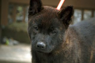 Japanese Names That Start With F Japanese Dogs Kai Ken Dog Names