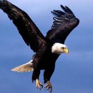 تفسير رؤية حلم الصقر في المنام للعصيمي Eagle Images Bald Eagle Eagle Wallpaper