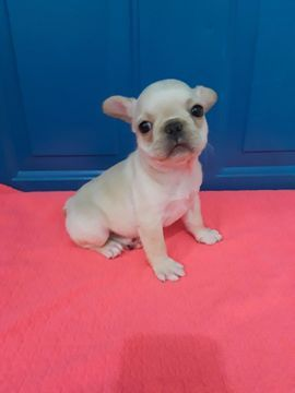 French Bulldog Puppy For Sale In Revere Ma Adn 51358 On