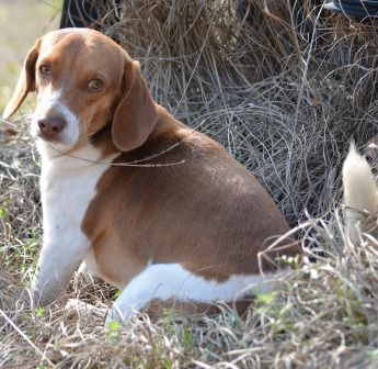 This Is A Liver Beagle They Are My Favorite I Had 2 I Now Only