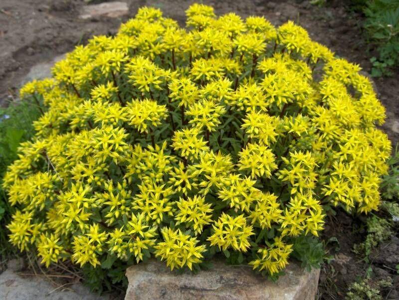 Yellow perennials colorado favorite colorado native perennials yellow perennials colorado favorite colorado native perennials mightylinksfo