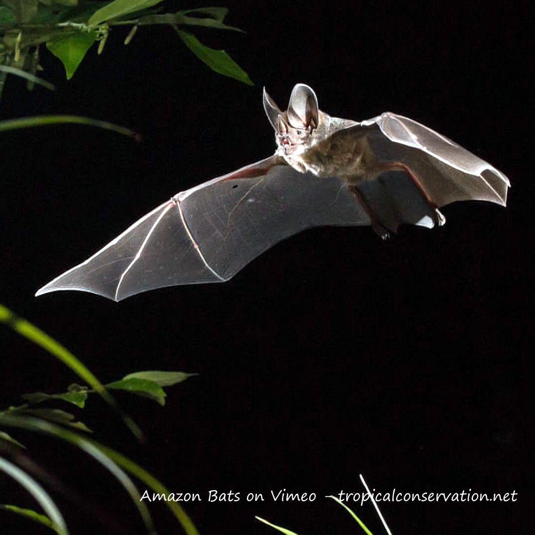 "pics from video ""Amazon Bats"" view more... http://www.batsrule.info/2016/09/amazon-bats.html"