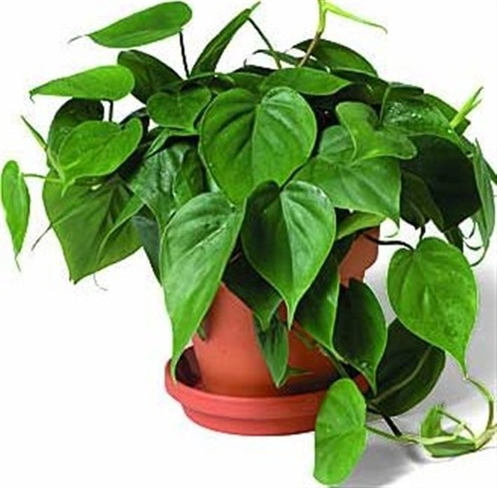 Image Result For Common House Plants