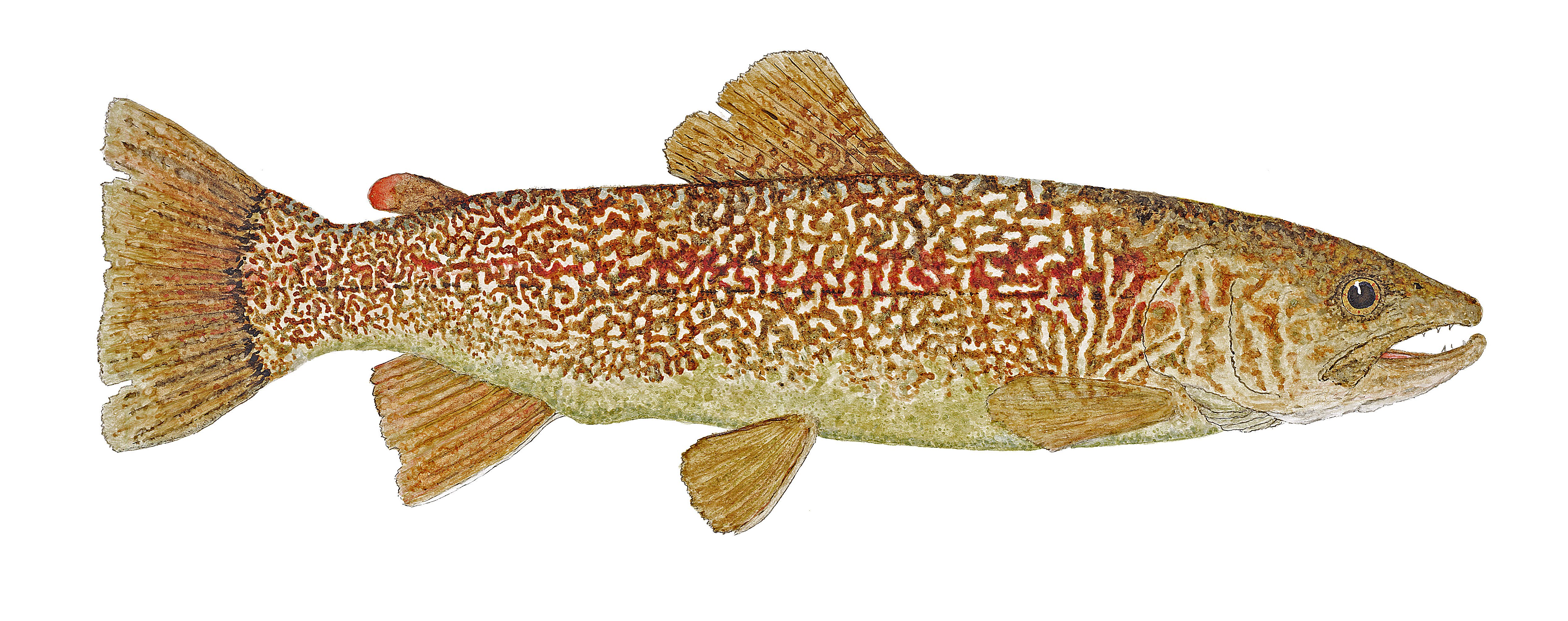 watercolor study of the marble trout found in the julian alps of