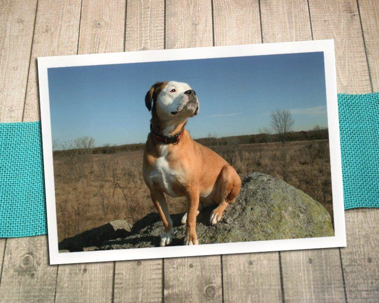 Proud Pup On The Prairie With White Border Fine Art Photography Postcard Old English Bulldogge Bulldog Self Esteem Pride 5 75 X4 125 Art Photography Fine Art Photography Fine Art