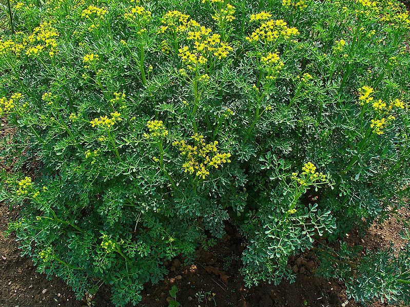 Rue Repels Cats If You Want A Bird Friendly Garden Plant Ruta Graveolens Herb