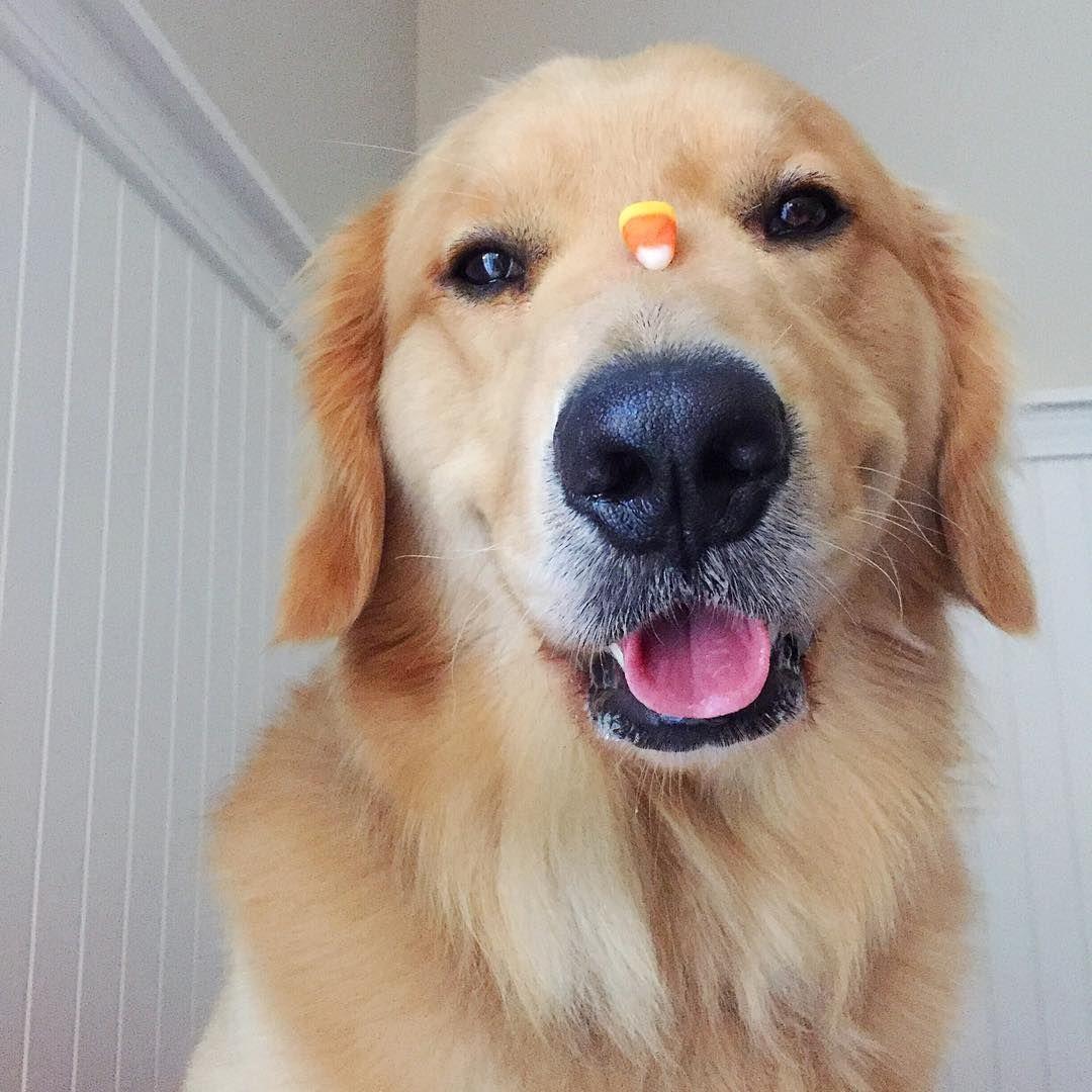 when do puppies calm down golden retriever