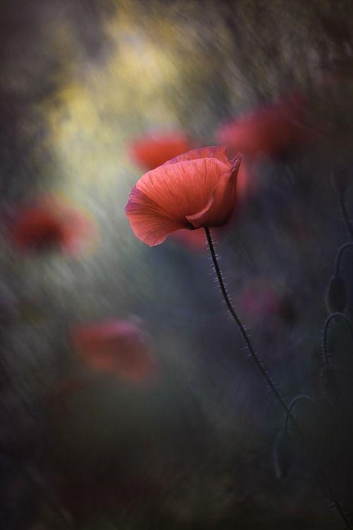 Elinka New Summer By Gabriel Prescornita Mohn Mohnblume Und Blumen