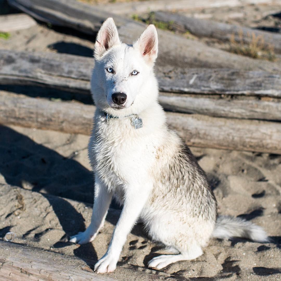 Bouba Siberian Husky 8 Y O Kitsilano Beach Park Vancouver Bc