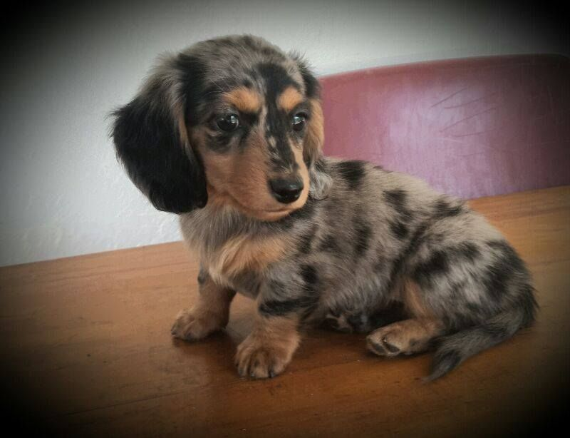 Double Dapple Dachshund With Blue Eyes Otto X Dapple Dachshund