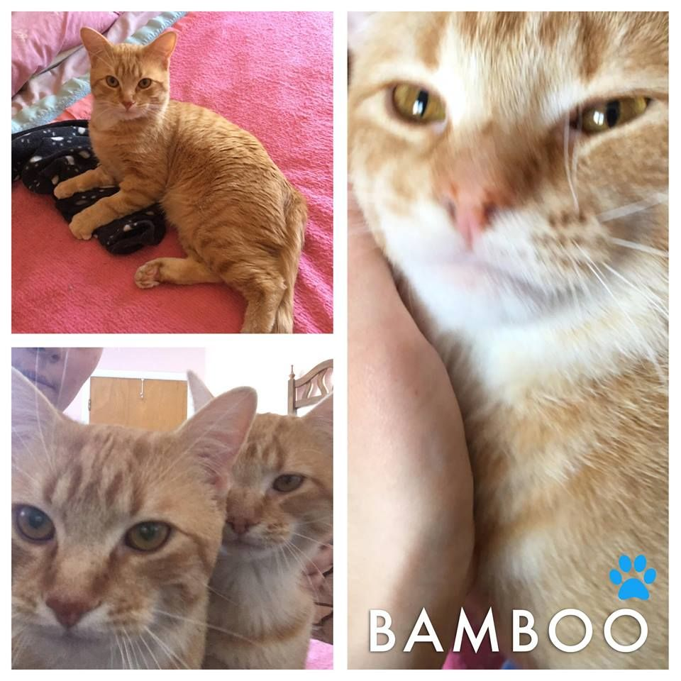 Montreal Cat Rescue Annouoncing Adoption Of This Red Young Kitten Named Bamboo 3 If You Would Like To Adopt A Rescu Kitten Names Animal Activism Cat Rescue